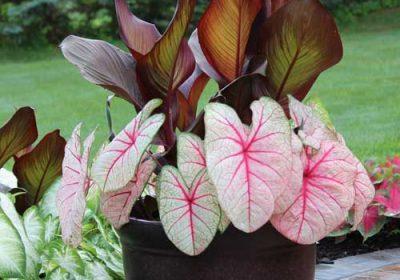 Южно- Американское растение каладиум